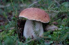 Looking for Mushrooms (Boletus)