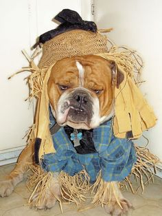 This is 3-year-old Chowder of Greenville, TN, dressed as a scarecrow! Repin if you think he's just the cutest!
