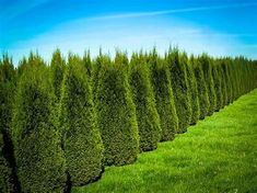 Privacy trees that grow up to 12 ft tall: Emerald Green Arborvitae Green Landscape, Landscape Design, House Landscape, Buy Trees Online, Arborvitae Tree, Emerald Green Arborvitae, Fast Growing Evergreens, Privacy Trees, Privacy Plants