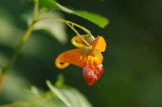 Jewelweed, Impatiens capensis, can be around a foot tall, more of a weed then a wanted plant, fair water. Jewel Weed, Flower Pictures, Herbal Remedies, Perennials, Herbalism, Secret Gardens, Flowers, Plants, Outdoors
