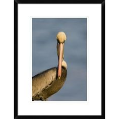 "Global Gallery 'Brown Pelican Adult Portrait' Framed Photographic Print Size: 24"" H x 18"" W x 1.5"" D"