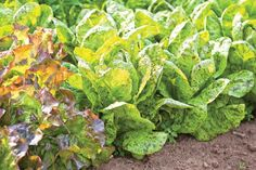 Grow the best salad garden possible with these 10 growing tips and advice on raising salad greens.