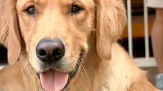 One Vision - A Guide Dog Documentary. Good examples of public access training. All Dogs, I Love Dogs, Best Dogs, Guide Dog, Service Dogs, Happy Dogs, Four Legged, Documentaries, Heroes