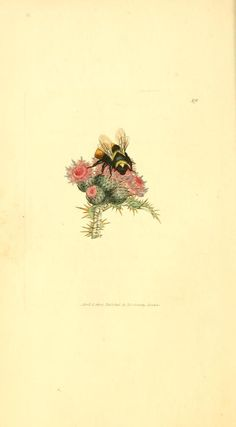 Apis flavicollis. Plate from 'British Miscellany, or, Coloured figures of New, Rare, or Little Known Animal Subjects.'  Author, ...