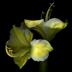 RARE... Yellow Amaryllis. by Magda Indigo on 500px