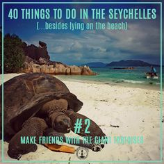 40 things to do in the #Seychelles (No.1) - Make friends with the Aldabra tortoises. On Curieuse Island in the Seychelles you can find 500 of the rare Aldabra tortoises native to this island (the biggest tortoises on the planet).