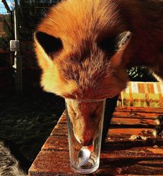 So thorsty Rusty the Fox Animals And Pets, Baby Animals, Cute Animals, Fox Spirit, Spirit Animal, Wolf Hybrid, Fox Totem, Fox Images, Pet Fox