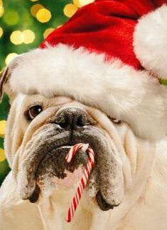 Santa #Bulldog