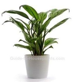 chinese evergreen, aglaonema, common house plants, low light house plants | 1000 - Modern#aglaonema #chinese #common #evergreen #house #light #modern #plants Orchid Plant Care, Orchid Plants, Indoor Palm Trees, Indoor Plants, Small Plants, Cool Plants, Chinese Evergreen Plant, Pachira Aquatica, Common House Plants