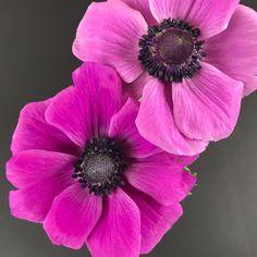 Pinke Anemone