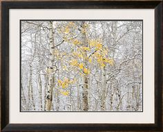 Fall Birch Photographic Print by Andrew Geiger at Art.com