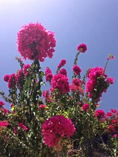 colourful bougainvillea on Crete