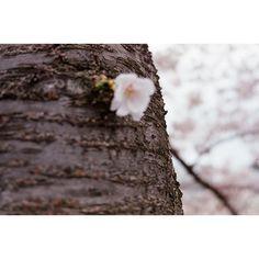【samarekadasu】さんのInstagramをピンしています。 《• • • • • #日本#東京#春#桜#さくら#フィルム#フィルムカメラ#ナチュラクラシカ#ヒヒのナチュラ#カメラ女子#ファインダー越しの私の世界#japan#tokyo#spring#cherryblossom#film#naturaclassica##일본#도쿄#봄#벚꽃#네츄라클래시카#필름#필카#필름카메라》