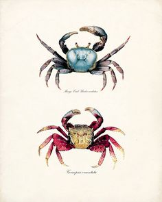 Crab Art Print - Red and Blue Mango Crabs Natural History Sea Life Wall Decor Print 8x10 via Etsy