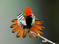 animals bird hummingbird coquette frilled coquette