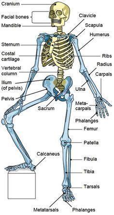 Bones of the Axial Skeleton biologie Human Body Anatomy, Human Anatomy And Physiology, Human Skeleton Anatomy, Skull Anatomy, Medical Facts, Medical Information, Funny Medical, Axial Skeleton, Skeleton Bones