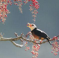 #727 by John via Flickr. Island Thrush, taken at DaSyueShan, Taichung County, Taiwan.