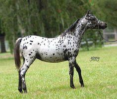 Leopard Appaloosa Miniature Horses | CLICK PHOTOS TO ENLARGE
