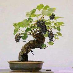 Fantastico.... grapevine bonsai