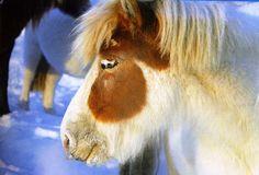Yakut horse with blue eyes.