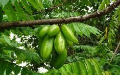 Bilimbi fruit or Kamias is native to the Philippines, and is considered as one of the most underestimated fruits. It is closely related to the star fruit or Photos Hd, Fruit Trees, Cucumber, Philippines, Benefit, Healthy Recipes, Healthy Food, Stuffed Peppers, Vegetables