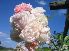 Rosa ´Ghislaine de Feligonde´ klimroos geurende roos zonder doornen