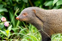 Stripe-necked mongoose by Nimit Virdi - Photo 171298331 / Mongoose, Safari, Creatures