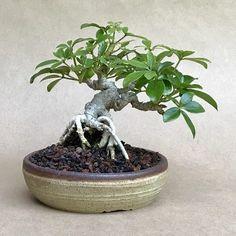 16 Bonsai Trees Ideas Bonsai Bonsai Tree Indoor Bonsai