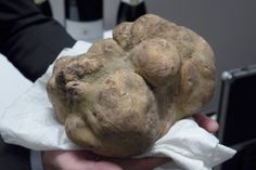 Meet The World's Most Expensive White Truffle | What do you call a truffle that is the size of a football