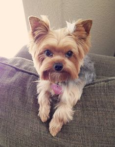 After her haircut. #yorkies ...
