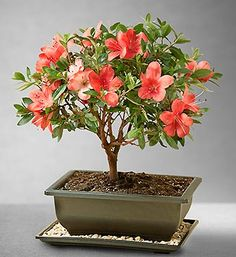 Beautiful azalea bonsai :)