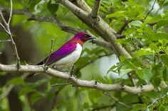 Violet-backed Starling - Mkuze Reserve - Bird Gif, Game Reserve, Birds 2, Starling, Funny Cat Pictures, Funny Cats, Wildlife, Animals, Birds
