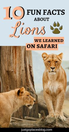 South Africa is one of the best places to go for a safari and to see lons in the wild! Your kids will absolutely love it. Discover 10 cool facts about lions we learnt during our safari in South Africa! Lion Facts For Kids, Lions For Kids, Kids Facts, Animal Facts For Kids, Animals For Kids, Fun Facts About Lions, Fun Facts About Animals, Zoo Activities Preschool, Kindergarten Science