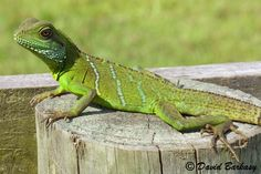 Chinese Water Dragon For Sale Chinese Water Dragon, Reptiles And Amphibians, Lizards, Creatures, World, Animals, Dragons, Tropical, Animales
