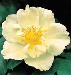 Silver Moon (1910) cross between a Wichuriana & the Cherokee Rose. The Antique Rose Emporium