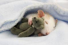 Cute Rat with teddy Bear