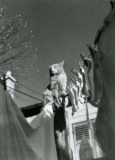 Chat sur une corde à linge. Paris. 1940. Photographer: Izis Bidermanas