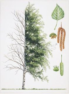Trees to forage from.  Natural medicinal uses listed for each.