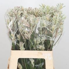 Buy wholesale Pink/Silver Anigozanthos Bush Diamond (Kangeroo Paw) for delivery direct to any UK address. Anigozanthos Bush Diamond is ideal for flower arrangements & wedding flowers. Plastic Flowers, Cut Flowers, Wedding Flower Arrangements, Wedding Flowers, Wholesale Flowers Online, Kangaroo Paw, Australian Plants, Florist Supplies, Flowers Delivered