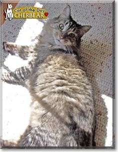 Read CherBear the Maine Coon's story from California and see her photos at Cat of the Day http://CatoftheDay.com/archive/2011/February/04.html .