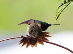 Hummingbird Stretching  Photographed by Teresa Albert