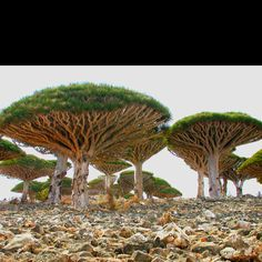 Dragon Tree of Madagascar. More