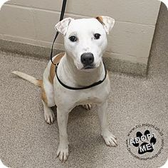 Sable - URGENT - Miami County Animal Shelter in Troy, Ohio - ADOPT OR FOSTER - 1 year old Female Pit Bull Terrier Mix