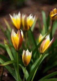 Wild tulips - LoRo-ArtAtelier