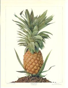1900s Fruit Print - Pineapple - Vintage Home Kitchen Food Decor Plant Art Illustration Great for Framing 100 Years Old