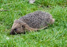 All sizes | Hedgehog | Flickr - Photo Sharing!