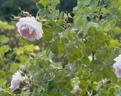 Rosa alba 'Minette' = Mustialan ruusu - Google-haku
