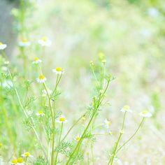 . . カモミールのお茶は林檎の香りに似てるね . 乾燥させたものより 摘んだばかりのが優しい香りで好き ごめんね のかわりに おいしい と一言 . のんびり木曜日 雨あがったね . . #花 #カミツレ #カモミール#flower2sky #kokohana #tv_dof #team_eos #team_c #tv_flowers #igersjp #ig_japan #icu_japan #ig_flower #ig_nature #wp_flower #with_precious #wp_photo_club #igscflower #instaflower #loves_garden #loves_nippon #Airy_pics #as_bokeh2016 #はなまっぷ #ザ花部 #花フレンド #bestjapanpics #whim_fluffy #_lovely_weekend #春見つけ2016 by drop_inkpot