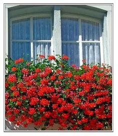 janela com flores 3