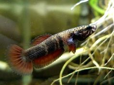 Betta albimarginata - wild type